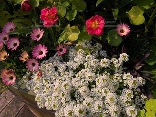 白や色とりどりの花壇の花の写真・画像素材[2412755]