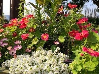 白や色とりどりの花壇の花の写真・画像素材[2412754]