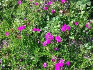 紫色の花の写真・画像素材[2412757]