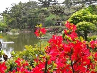 縮景園の赤いツツジの写真・画像素材[2412798]