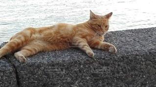 防波堤に横たわる茶トラの猫の写真・画像素材[2414194]