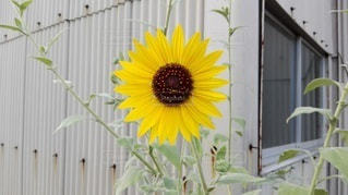 向日葵の写真・画像素材[2414248]