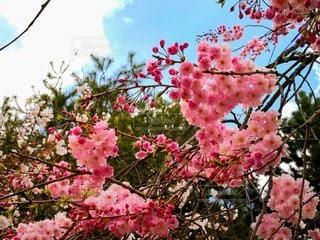 縮景園の桜の写真・画像素材[2414486]