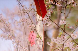 ミラーに映る桜の写真・画像素材[2411653]