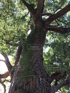 大きな木の写真・画像素材[2412648]