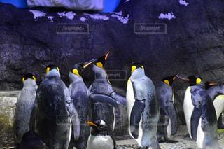 海遊館のペンギン達の写真・画像素材[2414772]