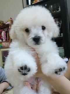 初めてトリミングした白いトイプードルの子犬の写真・画像素材[2423286]