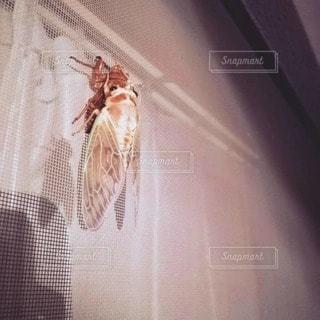 網戸と蝉の羽化の写真・画像素材[2491499]