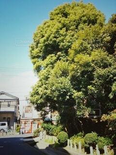 神社の木の写真・画像素材[2884015]