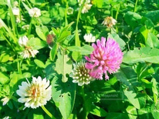クローバーの花の写真・画像素材[2892870]