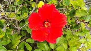赤いハイビスカスの写真・画像素材[4316260]