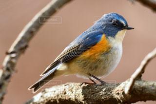 木の枝で休憩する青い鳥 ルリビタキの写真・画像素材[2419520]