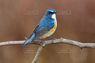 木の枝で休憩する青い鳥 ルリビタキの写真・画像素材[2419536]