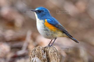 木の切り株で休憩する青い鳥 ルリビタキの写真・画像素材[2422097]