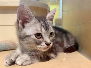 アメリカンショートヘアの子猫の写真・画像素材[2423232]