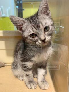 アメリカンショートヘアの子猫の写真・画像素材[2423467]