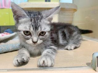 アメリカンショートヘアの子猫の写真・画像素材[2426723]