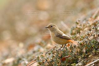 公園内を散策する小鳥 ジョウビタキの写真・画像素材[2430801]