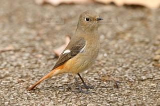 公園内を散策する小鳥 ジョウビタキの写真・画像素材[2430816]