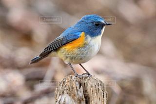 枝で休憩する青い鳥 ルリビタキの写真・画像素材[2435607]