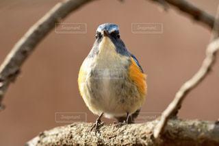枝で休憩する青い鳥 ルリビタキの写真・画像素材[2435608]