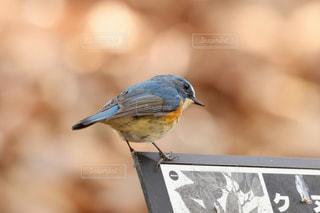 公園を散策する青い鳥 ルリビタキの写真・画像素材[2445587]