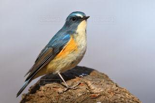 公園を散策する青い鳥 ルリビタキの写真・画像素材[2445588]