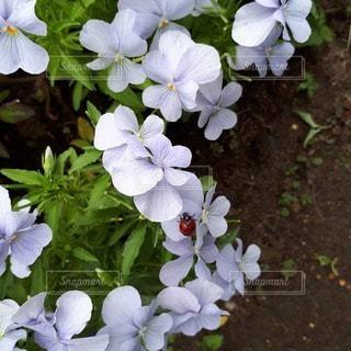 てんとう虫とお花の散歩道の写真・画像素材[2418647]