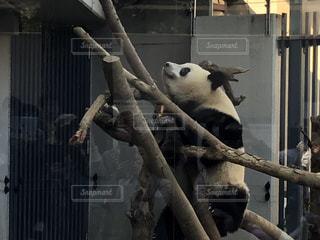 建物の上に座っているパンダの写真・画像素材[2917033]