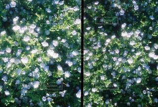 ネモフィラ絨毯の写真・画像素材[4747355]