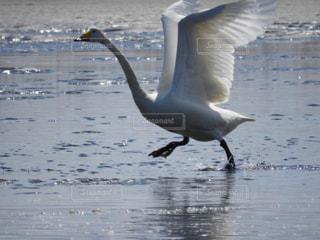 水辺で羽ばたくオオハクチョウの写真・画像素材[2461565]