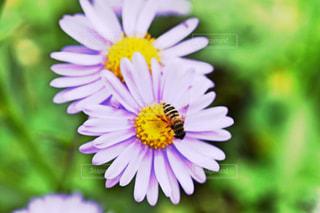 ヒメコスモスと蜂🐝の写真・画像素材[2477553]