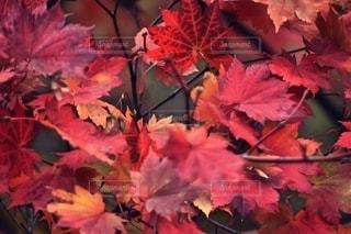 紅葉狩り🍁の写真・画像素材[2575559]