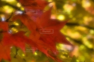 鈴蘭公園の紅葉です。の写真・画像素材[2655492]
