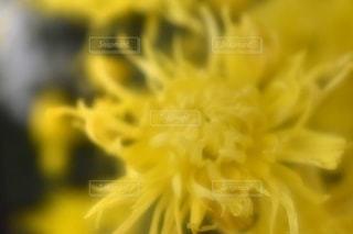 北見菊まつりの園芸の写真・画像素材[2681246]