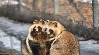 二匹寄り添う狸達の写真・画像素材[2698085]