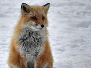雪の中のキツネの写真・画像素材[2707429]