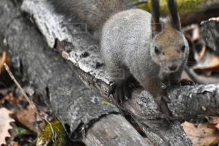 木の上に立っているエゾリスの写真・画像素材[3067627]
