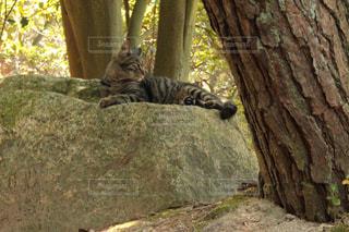 木の隣の岩の上に座っている猫の写真・画像素材[2430263]