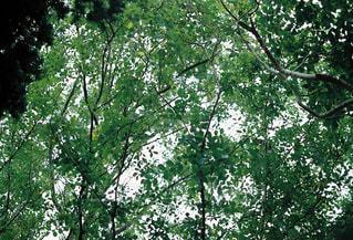 森の中の大きな木の写真・画像素材[2419004]