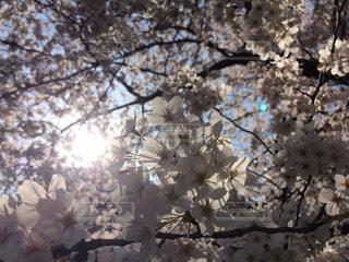桜の花の写真・画像素材[2420717]