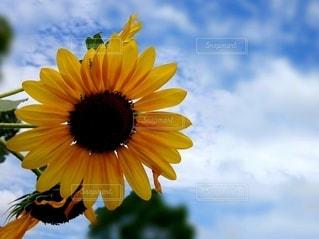 真夏の向日葵の写真・画像素材[2421446]