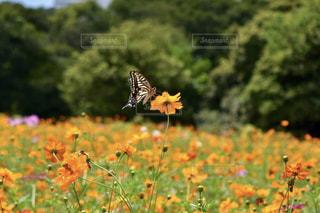 コスモスとアゲハチョウの写真・画像素材[2420272]