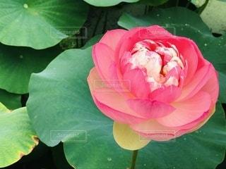 蓮の花の写真・画像素材[3541533]
