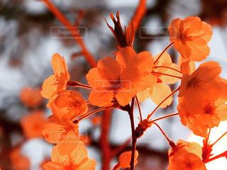 燃桜の写真・画像素材[2423010]