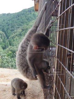 親子の猿の写真・画像素材[2487911]