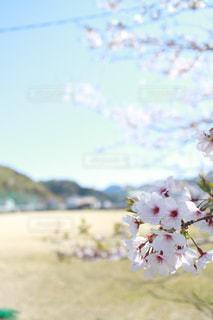 グラウンドの桜の写真・画像素材[2423490]