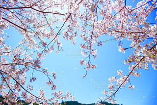 風に舞う桜の写真・画像素材[2423494]