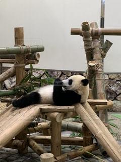 ぐうたらパンダの写真・画像素材[2475320]