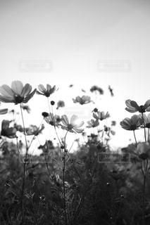 モノクロのコスモスの写真・画像素材[2686126]